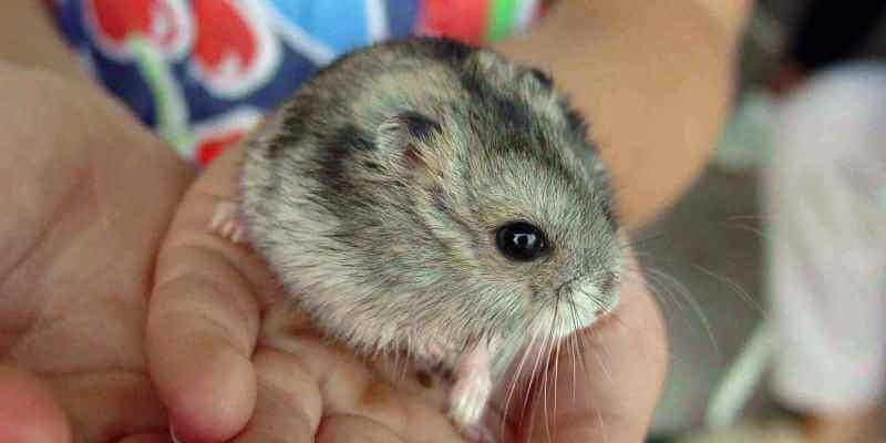 Comment choisir une cage pour un hamster?